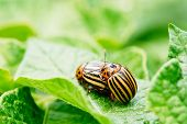 picture of potato bug  - Two Colorado Striped Beetles Leptinotarsa Decemlineata. This Beetle Is A Serious Pest Of Potatoes