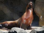 Sea Lion on Display