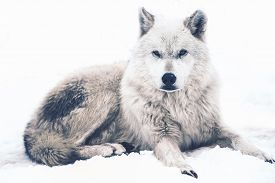 foto of white wolf  - Laying Arctic Wolf - JPG