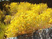 Great Basin Sage