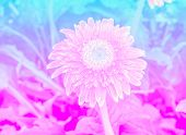 pic of gerbera daisy  - sweet color gerbera in soft color and blur style for background Gerbera Daisy - JPG
