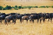 Постер, плакат: Great Migration African Wildlife