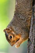 Eastern Fox Squirrel Eating A Peanut