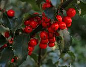 Holly Leaves & Berries