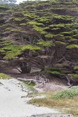 picture of bonsai  - Coastal trees in Big Sur California a very large Cypress that resembles a bonsai - JPG