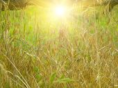 stock photo of dry grass  - Field with yellow dry grass at sunset - JPG