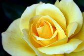 foto of yellow rose  - photo of beautiful yellow rose close up  - JPG
