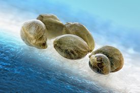 picture of seed bearing  - Six hemp seeds on a cool background in macro - JPG