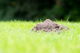 stock photo of mole  - Mole mound in the garden taken from a low position of view - JPG