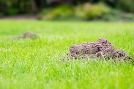 pic of mole  - Two Mole mounds in the garden taken from a low position of view - JPG