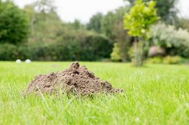 foto of mole  - Mole mound in the garden taken from a low position of view - JPG