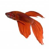 picture of siamese fighting fish  - shot of a red Siamese fighting fish under water in front of a white background - JPG