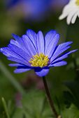 Beautiful Blue Anemone Blanda