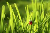 Close-up photo of a ladybug in fresh green grass