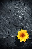 Fraction of a black schist wall with with a single yellow flower