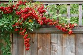 Pyracantha plant climbing on and over a redwood fence with red berries