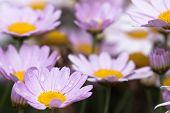 stock photo of feverfew  - the daisy in the garden - JPG