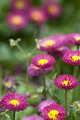 the daisy in the garden.