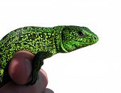 Lizard On Hand Isolated, Insulated
