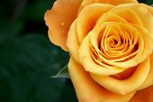 Orange rose with dew drops and ample copy space