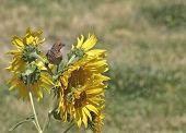 Carpodaco florido