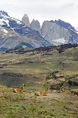 Guanacos resting in the foothills in Patagonia