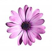 Purple flower isolated with clipping path on white