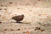 Scavenging Dove