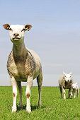 shaven sheep and lamb