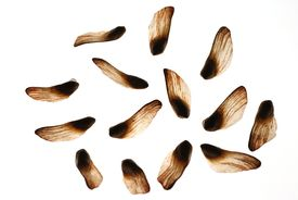 image of pine nut  - pine nuts - JPG