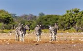 Beautiful Stripped Zebra Herd In African Bush. Etosha Game Reserve, Namibia, Africa Safari Wildlife. poster