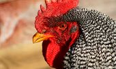 Barred Rock Rooster 2
