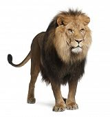 stock photo of lion  - Lion - JPG