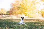 Smooth Fox Terrier Puppy Sitting On The Grass In Autumn. Young Fox Terrier Dog Playing In A Beautifu poster
