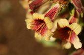 Rehmannia Glutinosa Flowers