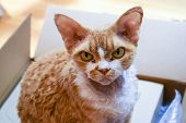 Purebred Devon Rex Cat poster