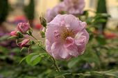 Beautiful Blooming Pink Rose Bush Macro Photo. Flowers On Blurred Greenery Background With Bokeh. Bl poster