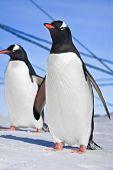 Pinguine auf den Hügeln von Schnee in der Antarktis bedeckt