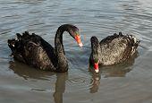Two black swans (Cygnus atratus) in a lake