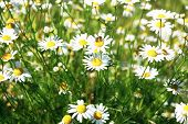 Matricaria Chamomilla (camomile, Wild Chamomile Or Scented Mayweed) In Bloom. Floral Background poster