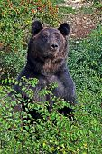 Brown Bear, Or Ordinary Bear (ursus Arctos) Is A Predatory Mammal Of The Bear Family; One Of The Lar poster