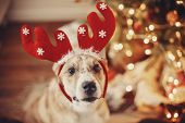 Cute Dog With Reindeer Antlers Sitting On Background Of Golden Beautiful Christmas Tree With Lights  poster