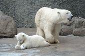 White polar bears family feed