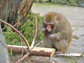Monkey eats conifer