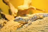 stock photo of goanna  - Goanna on the sand - JPG