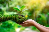 Environment Earth Day In The Hands Of Trees Growing Seedlings. Bokeh Green Background Female Hand Ho poster