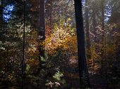 Red And Yellow Leaves Highlighted With Afternoon Sunbeams In The Dark Autumn Pine Forest. poster