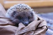 Spiky Hedgehog Sitting On Textile Material On The Floor Indoors poster