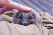 A Hedgehog Is Any Of The Spiny Mammals Of The Subfamily Erinaceinae, In The Eulipotyphlan Family Eri poster