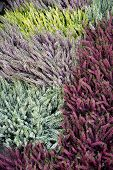 Colored Blooming Heather. Italian Nature At The End Of The Summer. Blooming Heather Flowers Of Vario poster